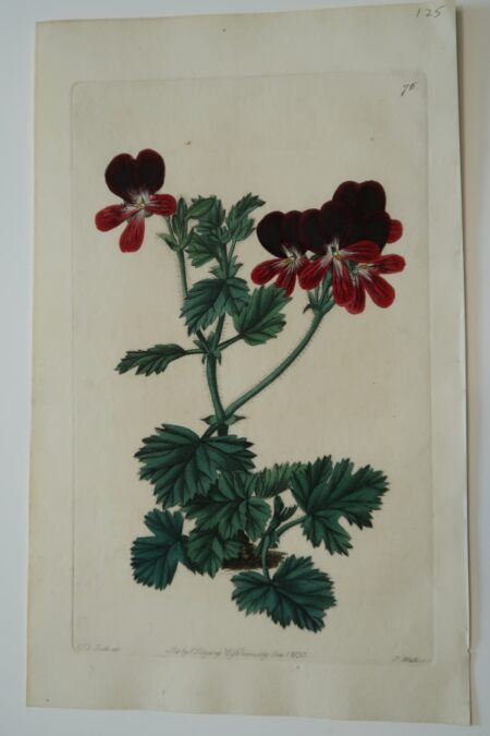 1830 hand-colored engraving geraniums, dark red blooms, blue-green leaves. Sweet Plate 76