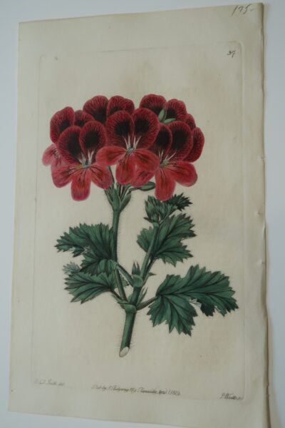 Early 1820's antique flower print, Red Geraniums Engraving Plate37