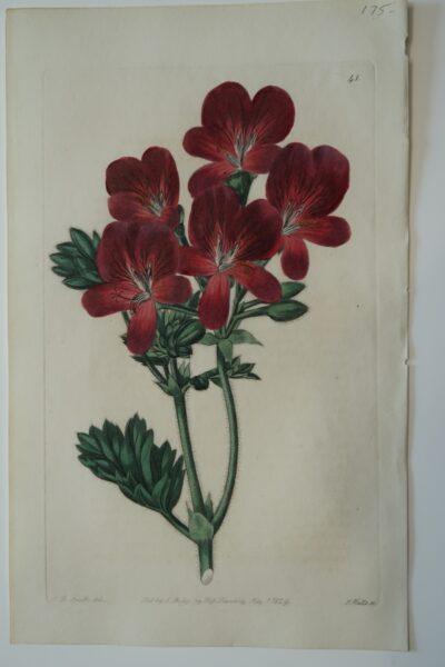 Robert Sweet dis wonderful flower engravings, this is Spectacular Artwork Geraniums Plate41
