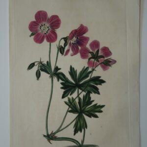 A beautiful 200 year old engraving of purple geranium.