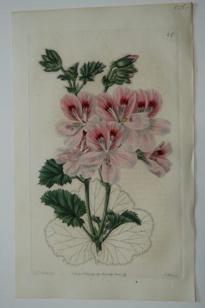 Large pink, Sweet Geraniums Engravings Plate47 published 2 centuries ago by Ridgeway.