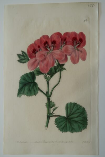 Sweets Geraniums Plate94 is a beautiful, 200 hundred year old antique engraving of large pink geranium.
