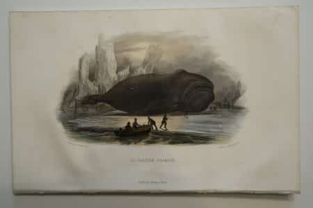 Rare hand-colored lithograph, by Edouard Travies, of a Baleen Whale.