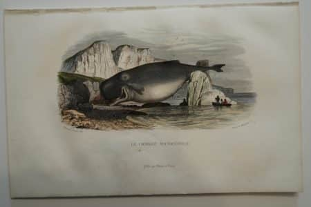 A rare hand-colored lithograph, 19th century, historic scene depicts, toothed sperm whale, beached.