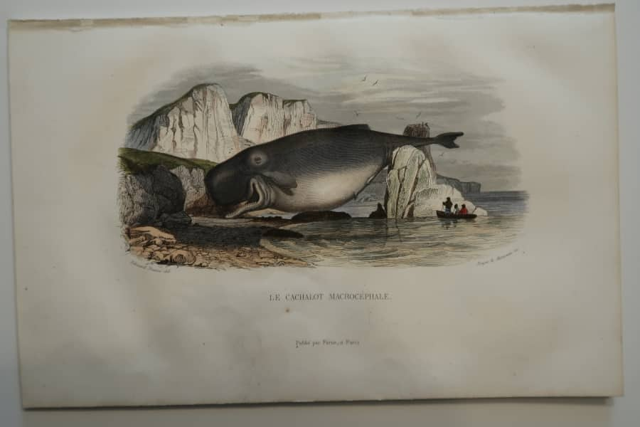 Beached whale & whaleboats, A rare hand-colored lithograph, 19th century, historic scene depicts, toothed sperm whale, beached.