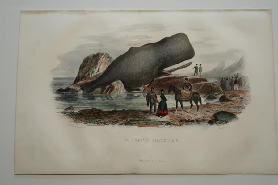 Rare whaling bookplate from Histoire Naturelle de Lacepede, Furne et Cie, 1844 Paris.