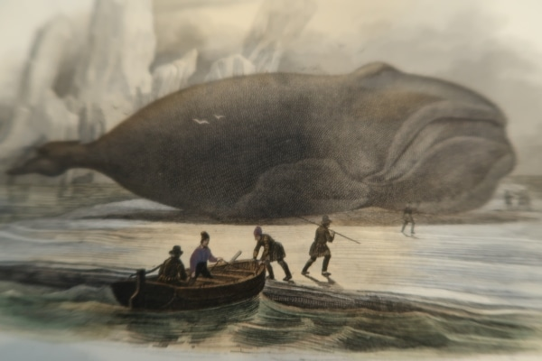 Antique whaling engraving Baleen whale, beached.