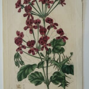 One of Robert Sweet's pelagoniums engravings plate214 from 1824.