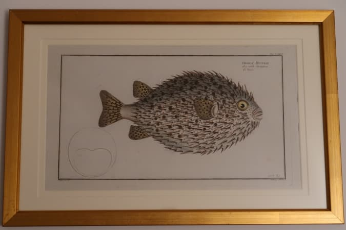See this puffer blow-fish engraving by a 18th century Icthyologist. This piece has professional museum picture framing (gold frame).