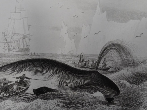 Are you interested in exploring the world of whales, printed throughout history? Scene shows harpooning whale, & whaleboats, in this centuries old engraving.