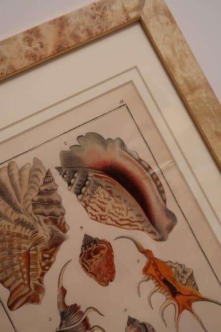 Surround yourself with the beauty of the ocean. Decorative antique prints of sea-shells, more than 100 years old.