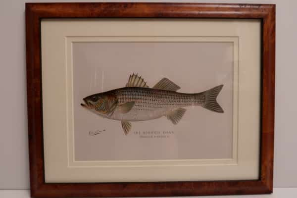 A beautifully framed striped bass, 120 year old lithograph. A representative example of the high quality, of original antique prints we sell.