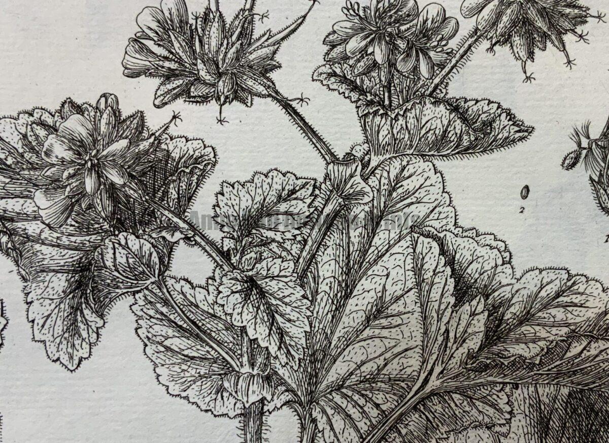 Blackwell, Weinmann, Curtis, Edwards and 16th century herbals.