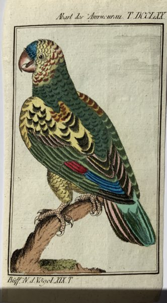Abart des Ajurucurau Parrot