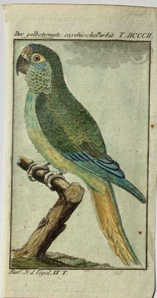 Buffon Parrot 6