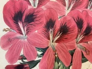 Antique geranium prints to purchase