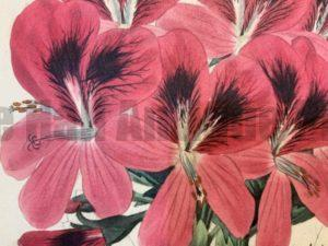 Geraniums Family Geraniaceae