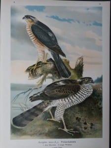 Accipiter nisus, 1895. $45.