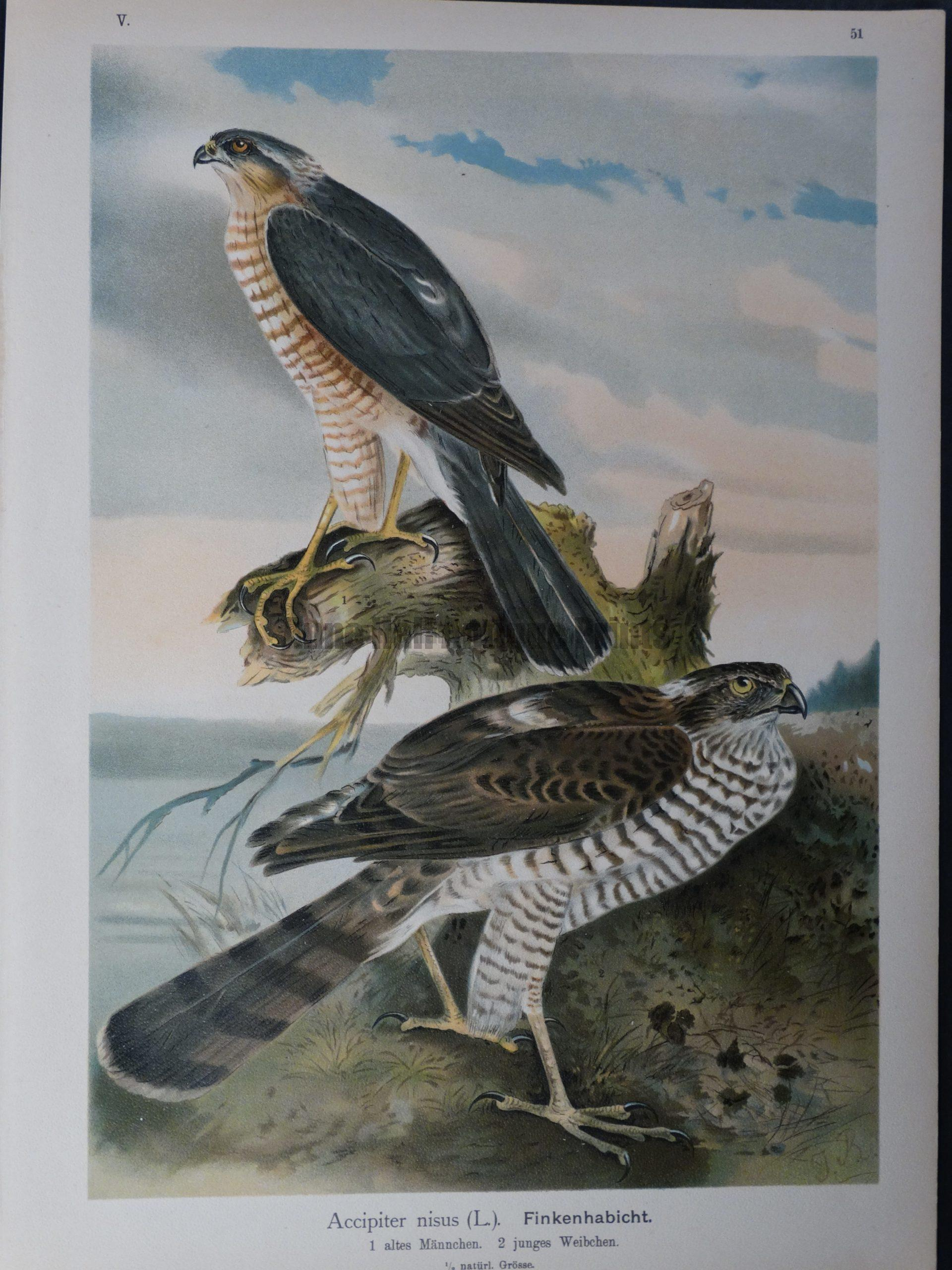 Accipiter nisus, 1895