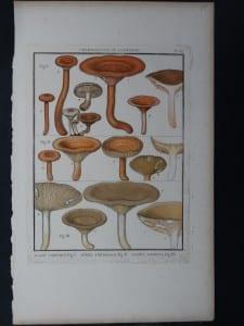 Agaric Camphre Mushroom $85