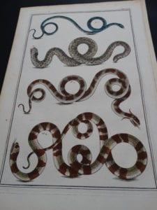Alberta Seba Snakes Pl. XVII