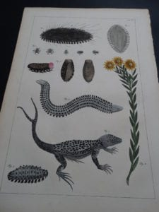 Albertus Seba Lizards and Insects Pl. XC