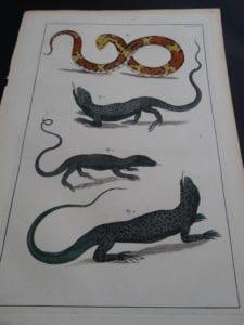 Albertus Seba Lizards and Snakes Pl. LXXXV
