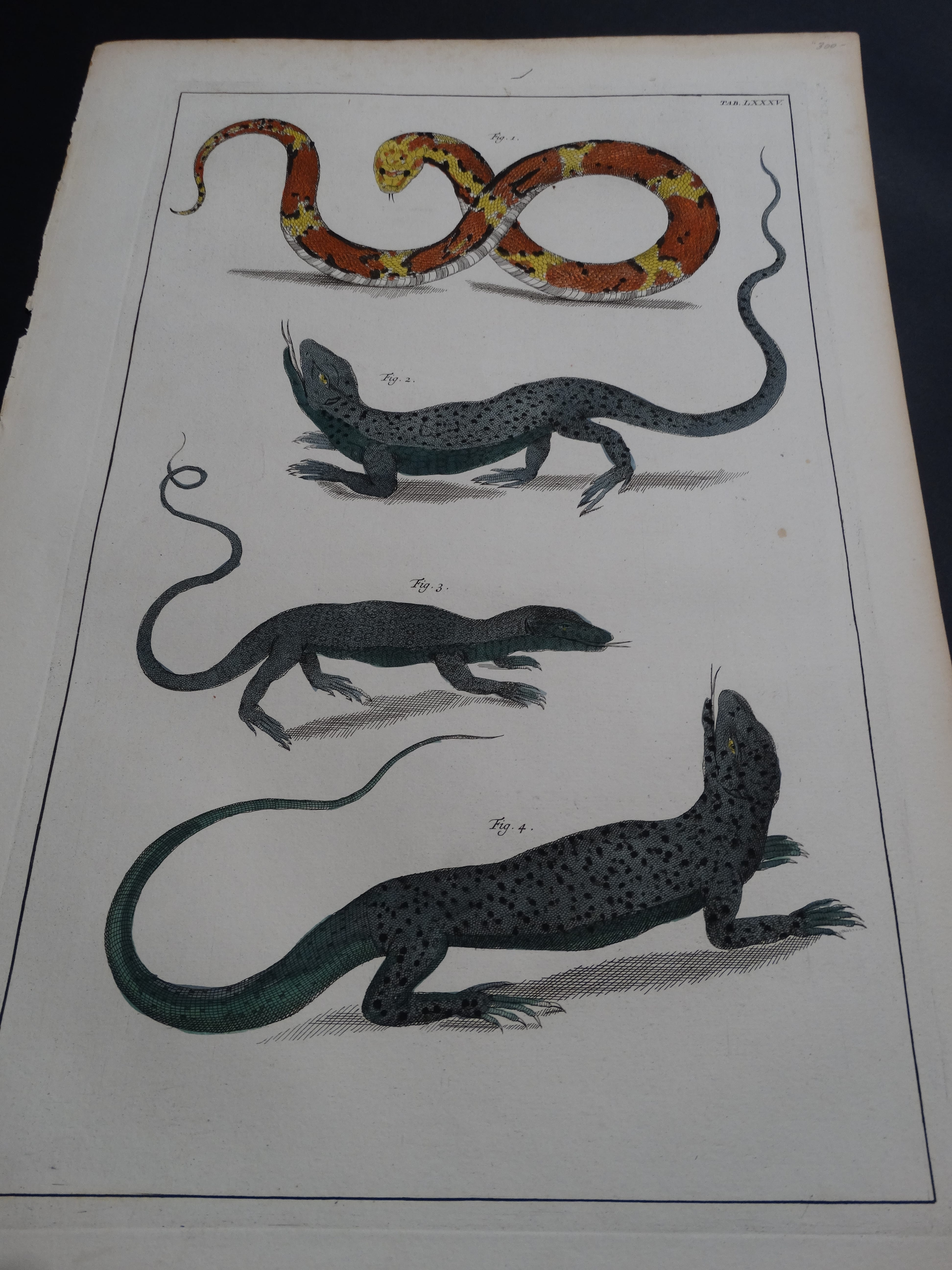 Albertus Seba Lizards and Snakes Pl. LXXXV