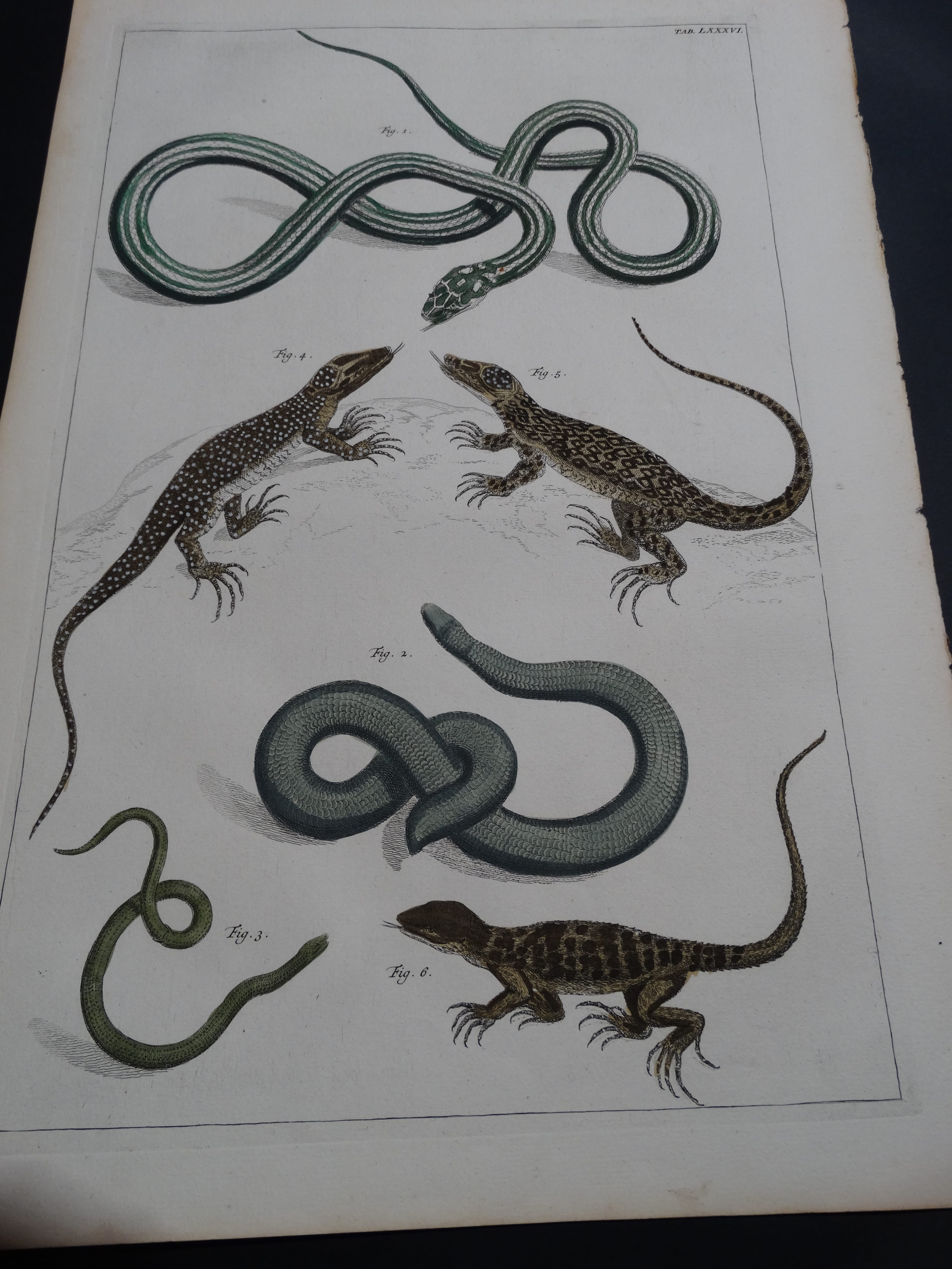 Albertus Seba Lizards and Snakes Pl. LXXXVI