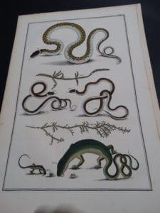 Albertus Seba Lizards and Snakes Pl. X