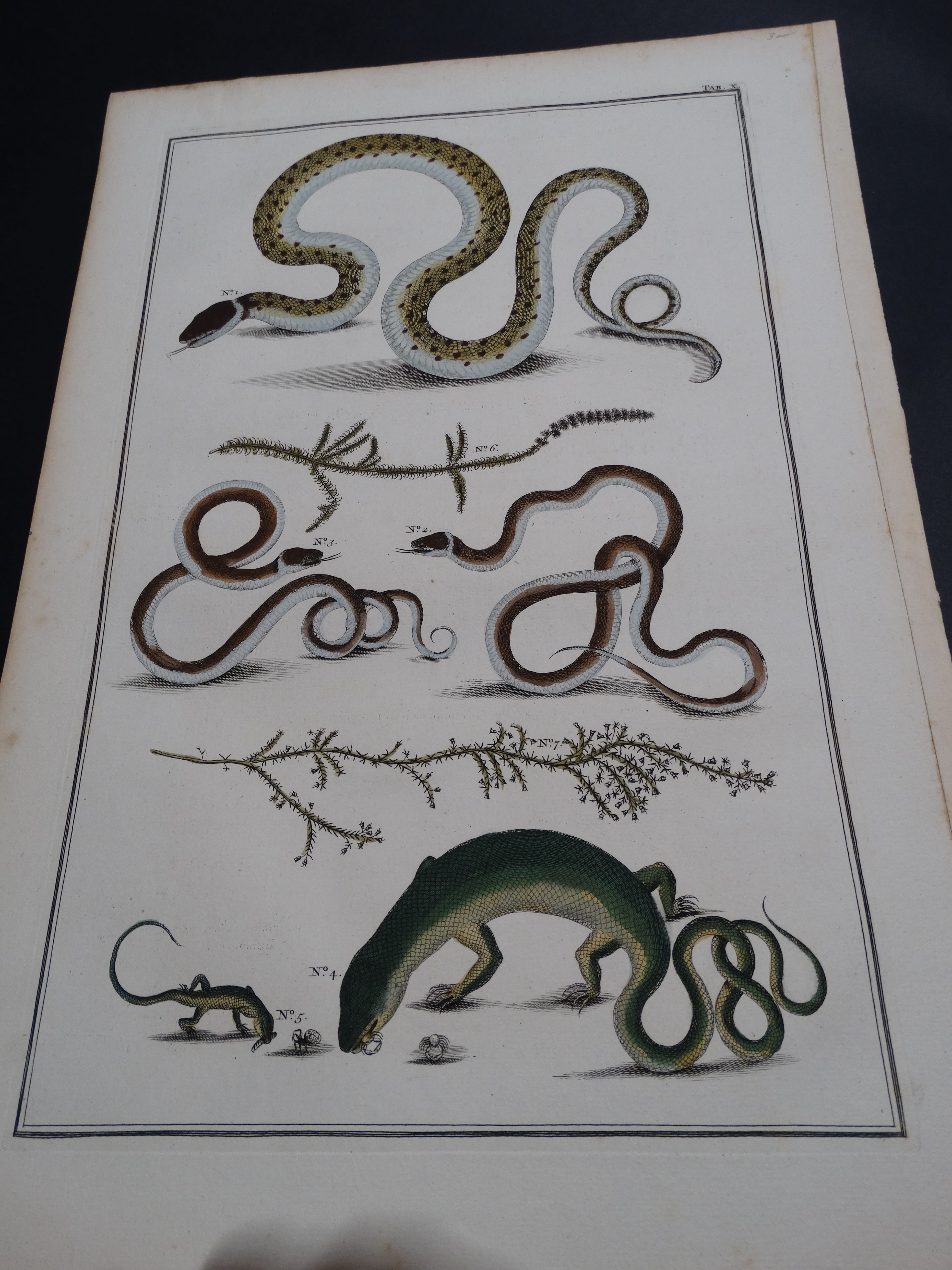 Albertus Seba Lizards and Snakes Pl. X