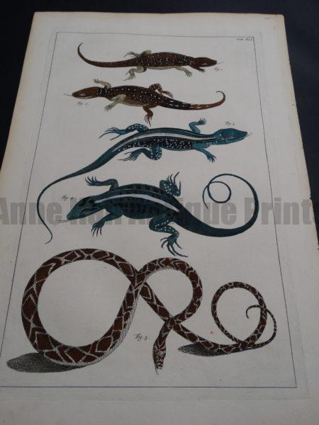 Albertus Seba Lizards and Snakes Pl. XCI