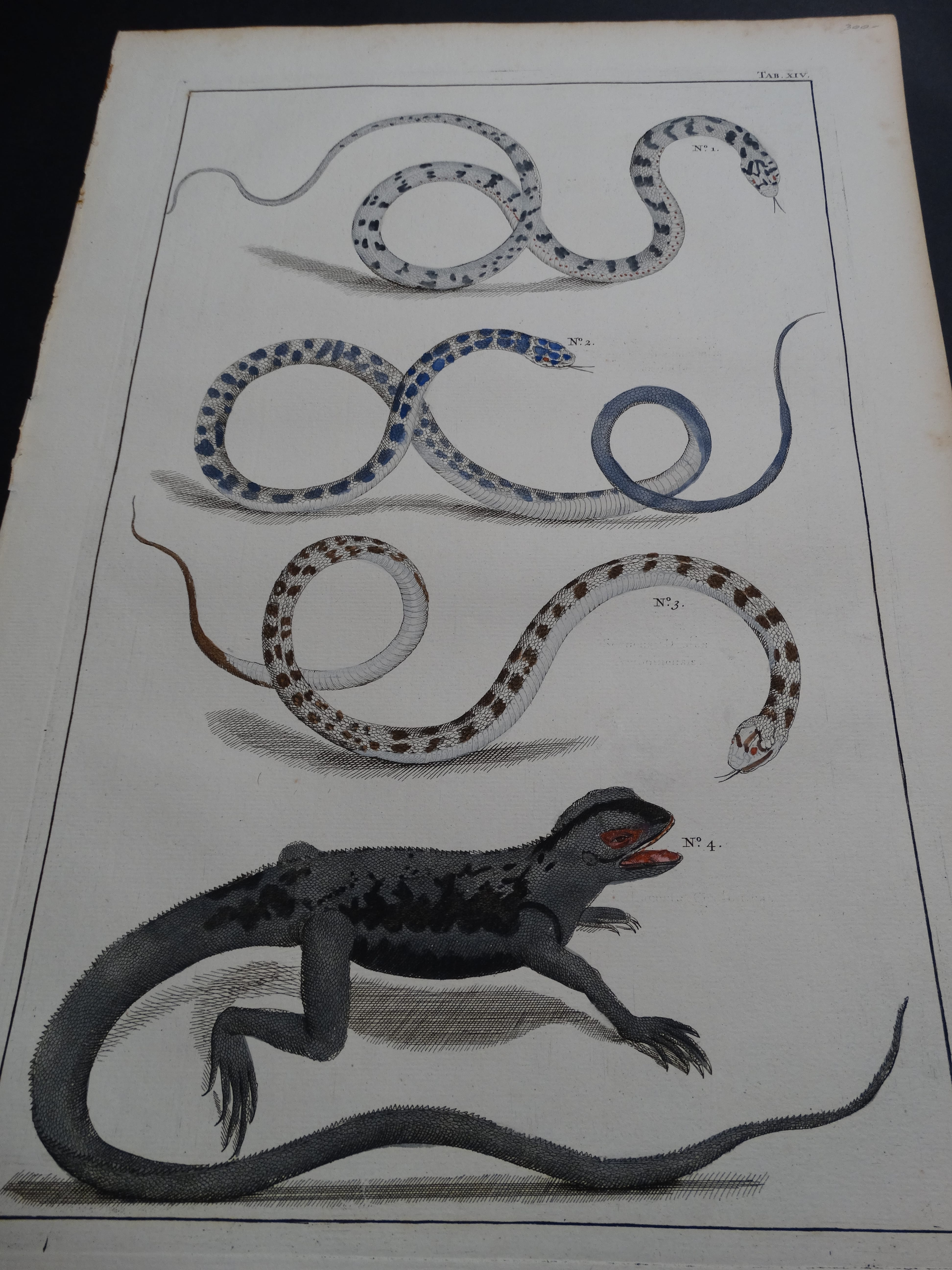 Albertus Seba Lizards and Snakes Pl. XIV