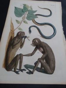 Albertus Seba Monkeys and Snakes Pl. XXXV