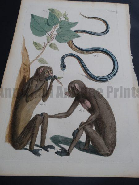 Albertus Seba Monkeys and Snakes Pl. XXXV