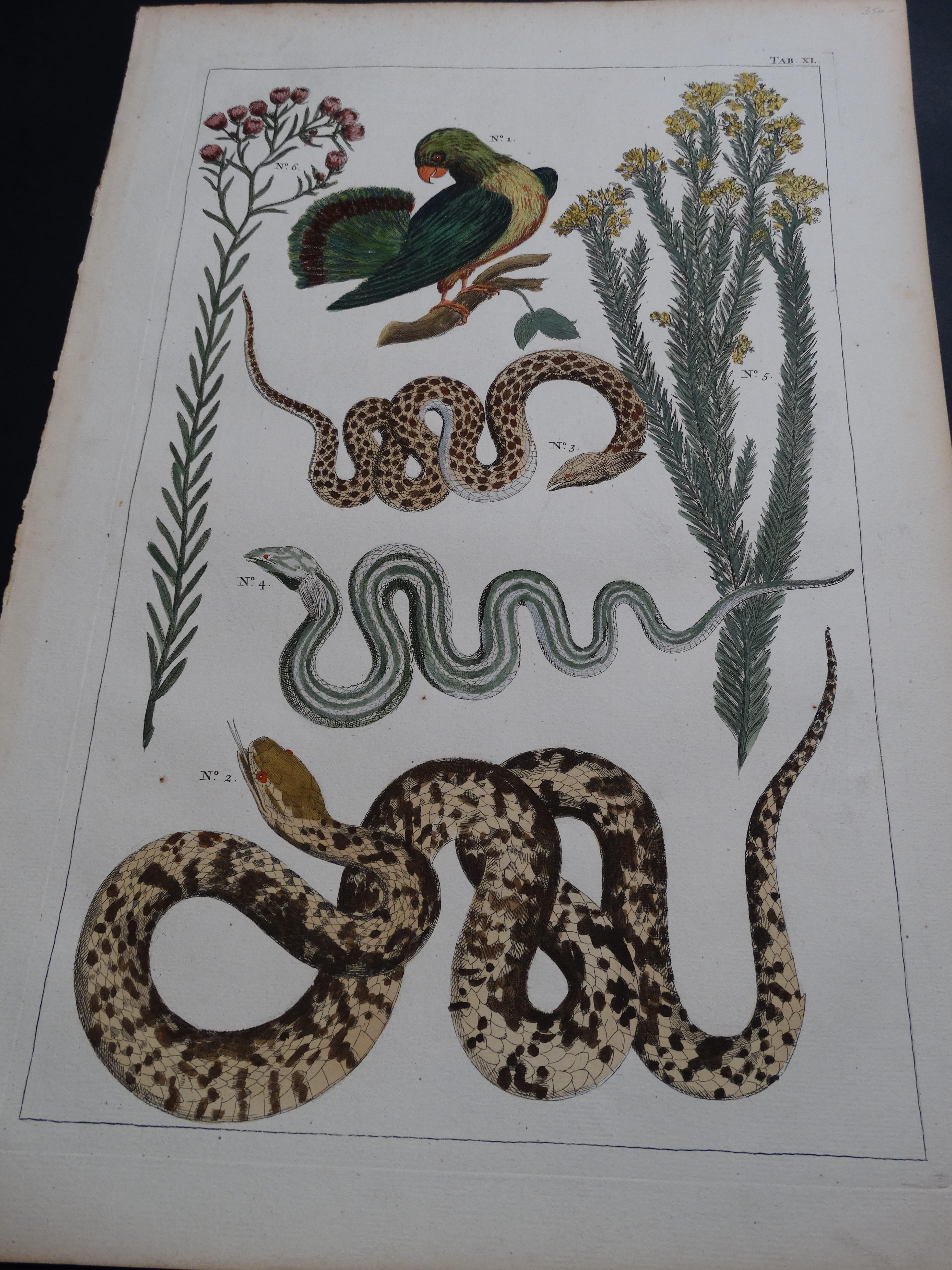 Albertus Seba Snakes Pl. XL