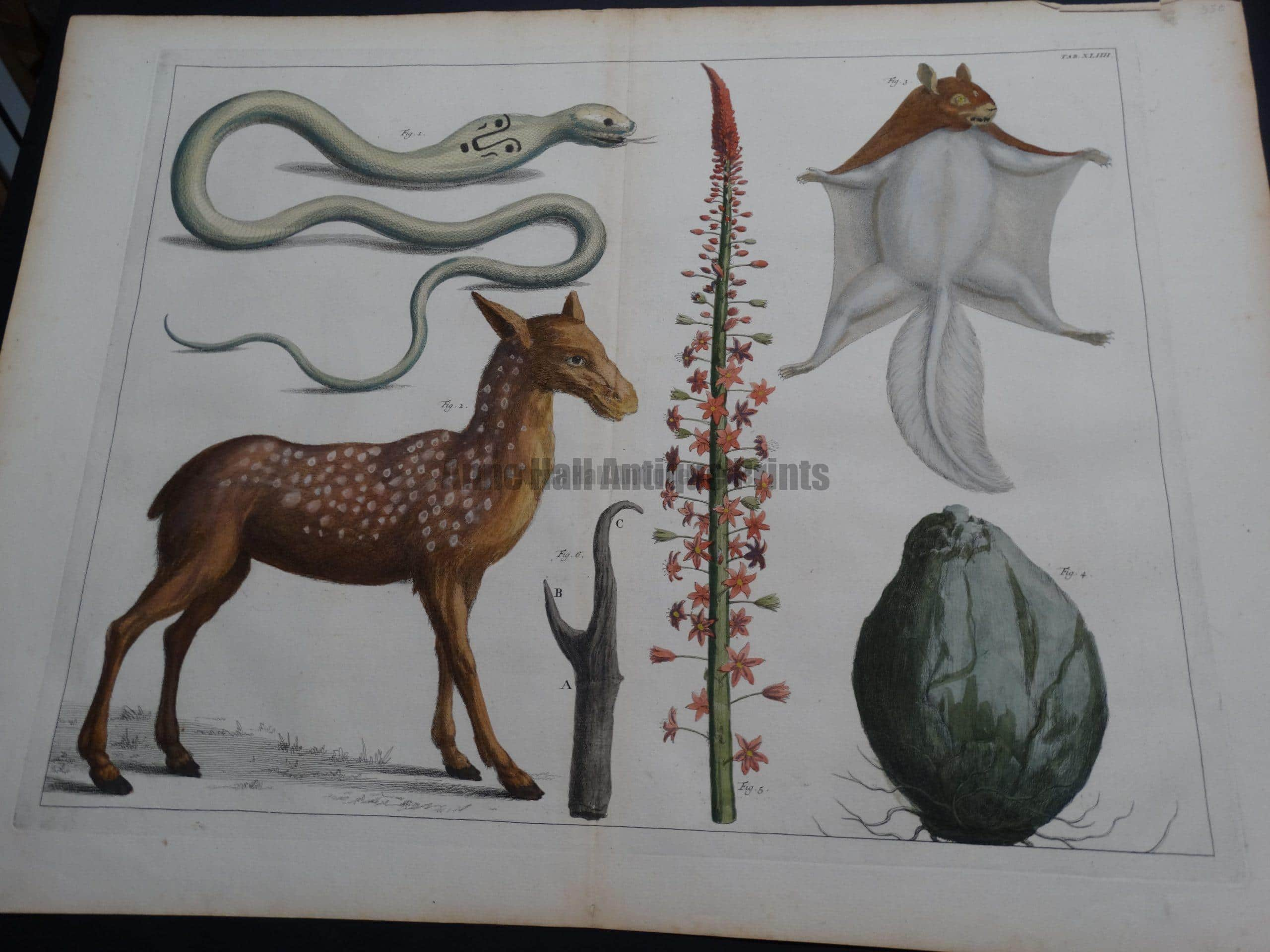 Albertus Seba Strange Critters Pl. XLIIII