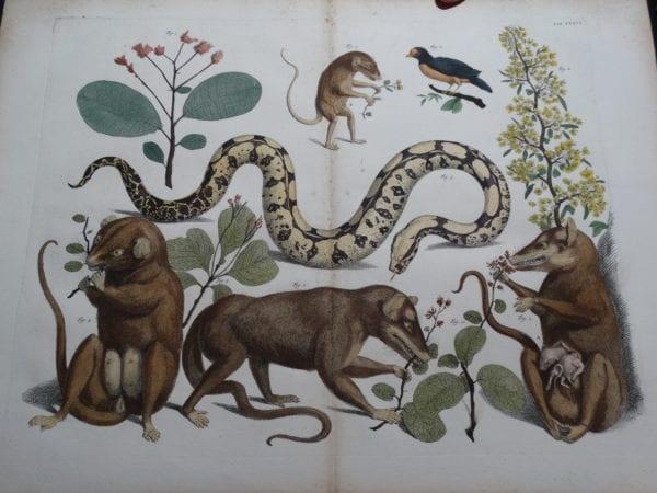 Albertus Seba Strange Critters Pl. XXXVI