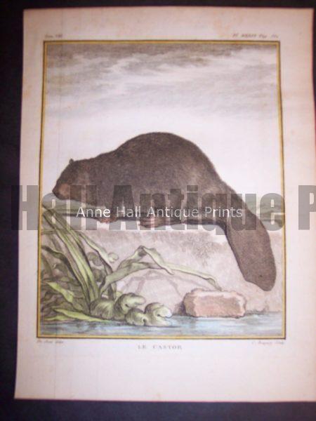 Animal Buffon Beaver 476