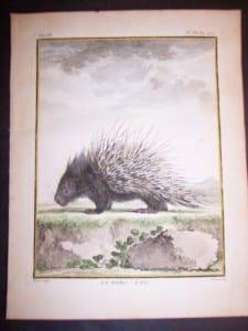 Animal Buffon Porcupine 481