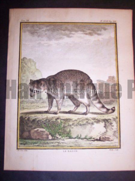 Animal Buffon Racoon 478