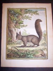 Animal Buffon Squirrel 473