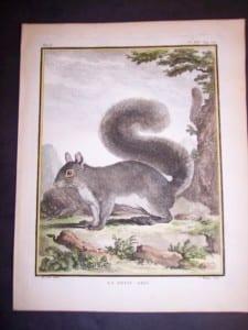 Animal Buffon Squirrel 475  125.