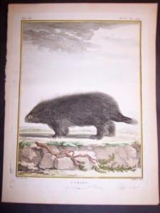 Animal Buffon Urson 479