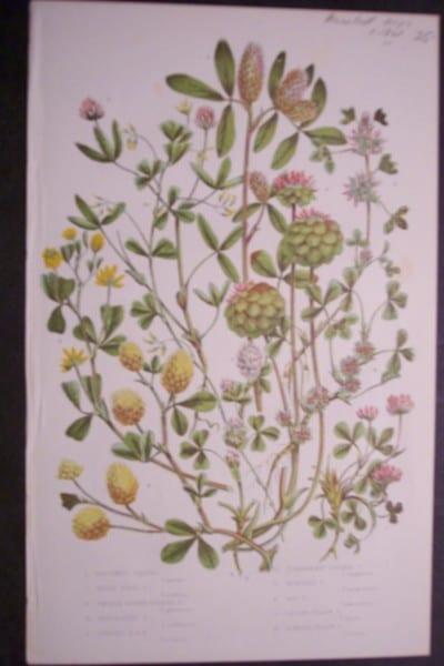 Anne Pratt Hops, c.1860. $25.