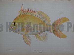 Anthias Fuscipinnis Jenkins, 1903. $125.