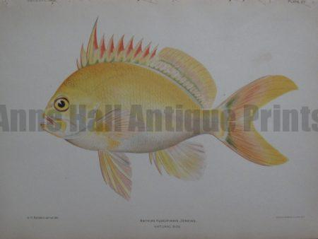Anthias Fuscipinnis Jenkins, 1903. Call for availability...