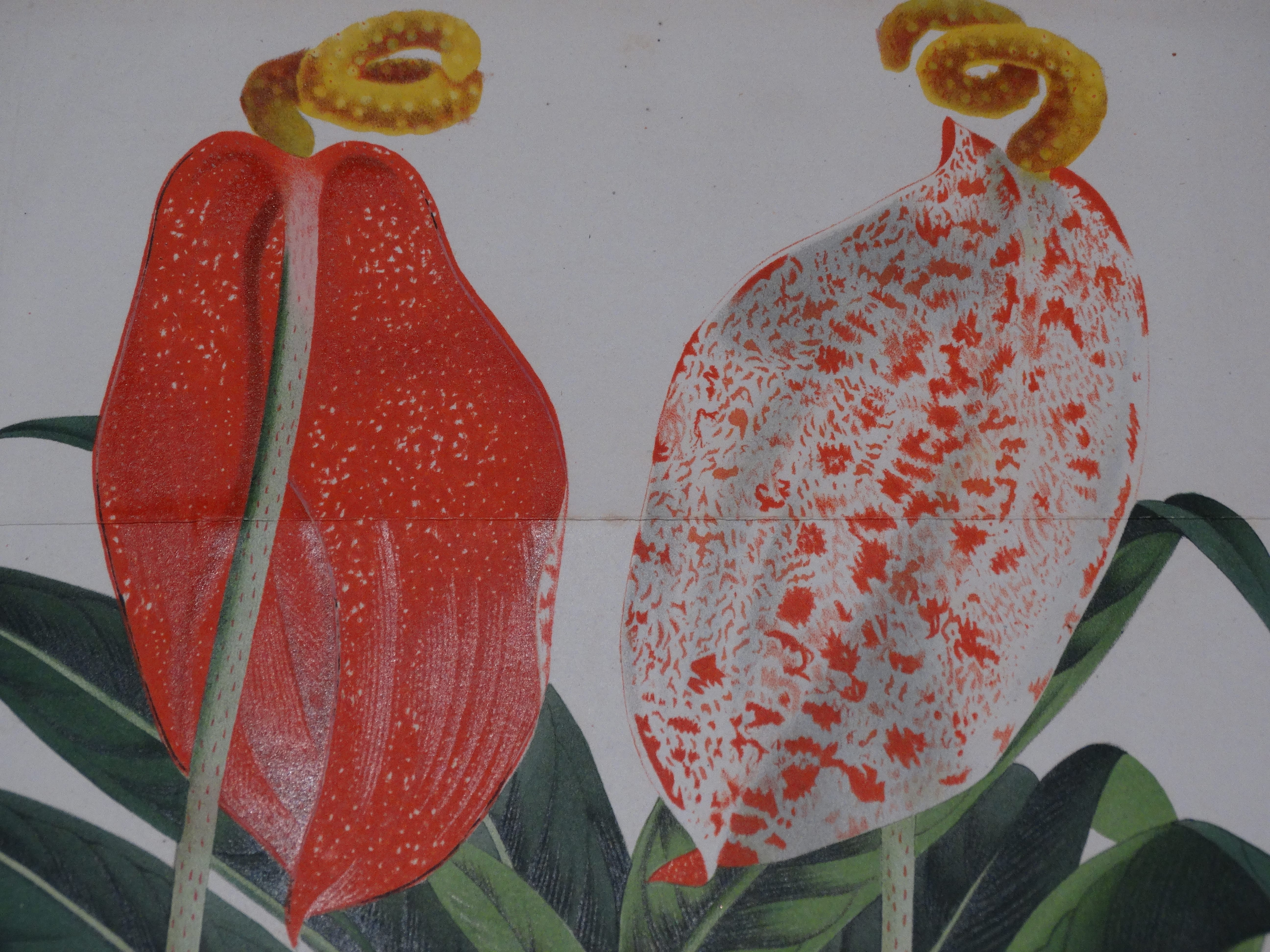 Anthurium Antique Engravings and Lithographs