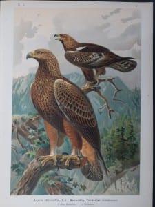 Aquila chrysaetus, 1895. $45.