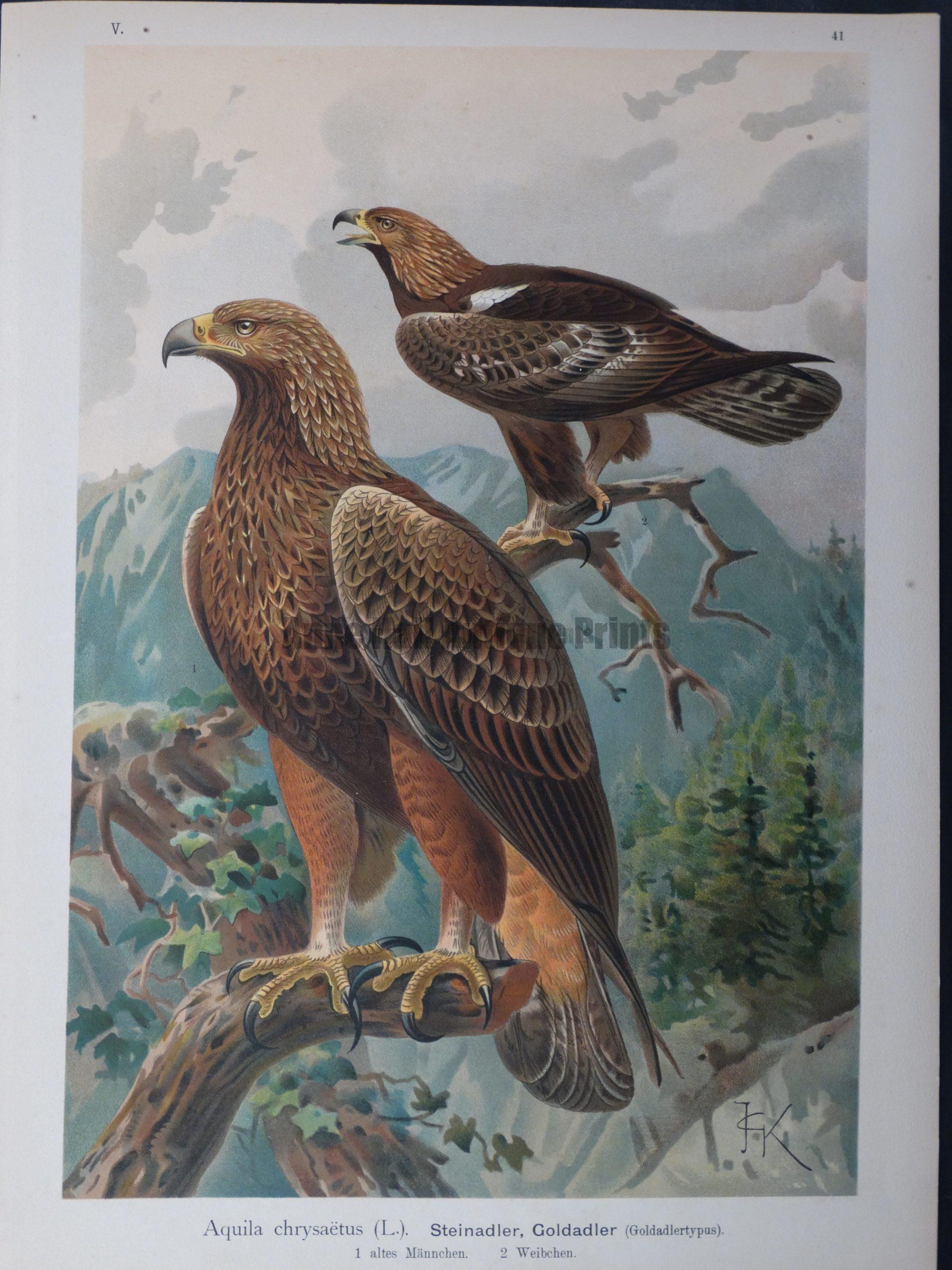 Aquila chrysaetus, 1895
